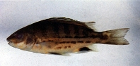 Image of Mesopristes cancellatus (Tapiroid grunter)