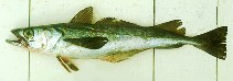 Image of Merluccius gayi gayi (South Pacific hake)