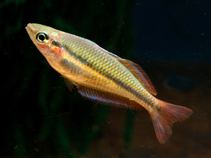 Image of Melanotaenia goldiei (Goldie River rainbowfish)