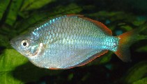 Image of Melanotaenia praecox (Dwarf rainbowfish)