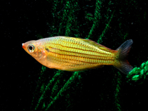 Image of Melanotaenia sexlineata (Fly River rainbowfish)
