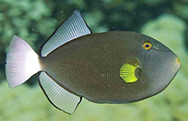 Image of Melichthys vidua (Pinktail triggerfish)