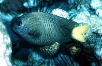 Image of Microspathodon chrysurus (Yellowtail damselfish)
