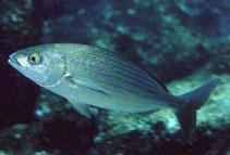 Image of Microlepidotus inornatus (Wavyline grunt)