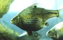 Image of Micrometrus minimus (Dwarf perch)