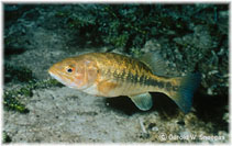 Image of Micropterus notius (Suwannee bass)