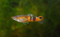 Image of Micropoecilia picta (Swamp guppies)