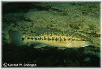 Image of Micropterus treculii (Guadalupe bass)