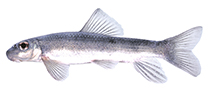 Image of Moxostoma ariommum (Bigeye jumprock)