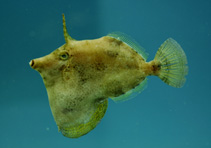 Image of Monacanthus ciliatus (Fringed filefish)