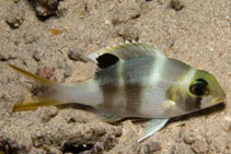 Image of Monotaxis grandoculis (Humpnose big-eye bream)
