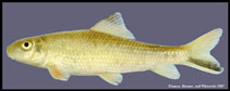 Image of Moxostoma poecilurum (Blacktail redhorse)