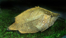 Image of Monocirrhus polyacanthus (Amazon leaffish)