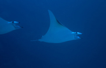 Image of Mobula thurstoni (Smoothtail mobula)