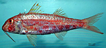 Image of Mullus auratus (Red goatfish)