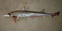 Image of Mustelus lenticulatus (Spotted estuary smooth-hound)