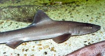 Image of Mustelus mustelus (Smooth-hound)