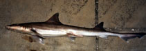 Image of Mustelus norrisi (Narrowfin smooth-hound)