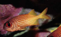 Image of Myripristis clarionensis (Yellow soldierfish)