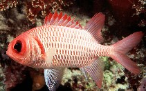 Image of Myripristis hexagona (Doubletooth soldierfish)