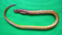 Image of Myrophis punctatus (Speckled worm-eel)