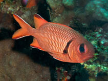 Image of Myripristis robusta (Robust soldierfish)