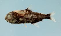 Image of Myctophum selenops (Wisner\