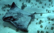 Image of Myliobatis tenuicaudatus (Eagle ray)