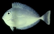 Image of Naso brevirostris (Spotted unicornfish)