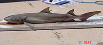 Image of Negaprion acutidens (Sicklefin lemon shark)
