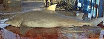 Image of Negaprion acutidens (Sicklefin lemon shark)