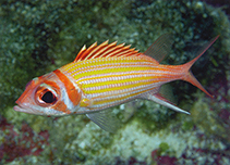 Image of Neoniphon aurolineatus (Yellowstriped squirrelfish)