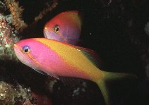 Image of Nemanthias carberryi (Threadfin anthias)