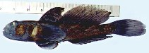 Image of Babka gymnotrachelus (Racer goby)