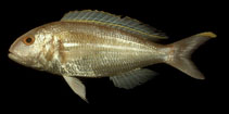 Image of Nemipterus hexodon (Ornate threadfin bream)