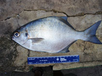 Image of Neoscorpis lithophilus (Stone-bream)