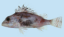 Image of Neosebastes longirostris (Long-snout gurnard perch)