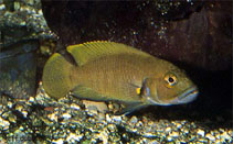 Image of Neolamprologus niger