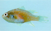 Image of Neamia octospina (Eightspine cardinalfish)
