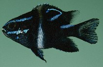 Image of Neoglyphidodon oxyodon (Bluestreak damselfish)