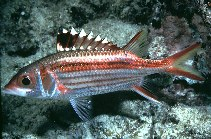 Image of Neoniphon sammara (Sammara squirrelfish)