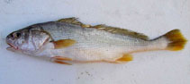 Image of Nibea squamosa (Scale croaker)