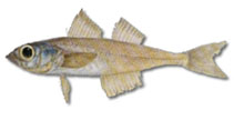 Image of Normanichthys crockeri (Mote sculpin)