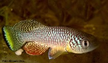 Image of Nothobranchius furzeri (Turquoise killifish)