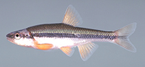 Image of Notropis lutipinnis (Yellowfin shiner)