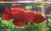Image of Nothobranchius orthonotus (Spotted killifish)