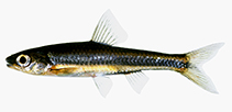 Image of Notropis petersoni (Coastal shiner)
