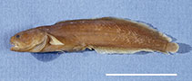 Image of Ogilbia boydwalkeri (Professor brotula)