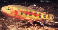 Image of Oncorhynchus aguabonita (Golden trout)