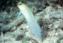 Image of Opistognathus aurifrons (Yellowhead jawfish)